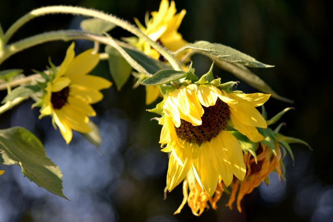 Sunflowers-Bowed-8_13
