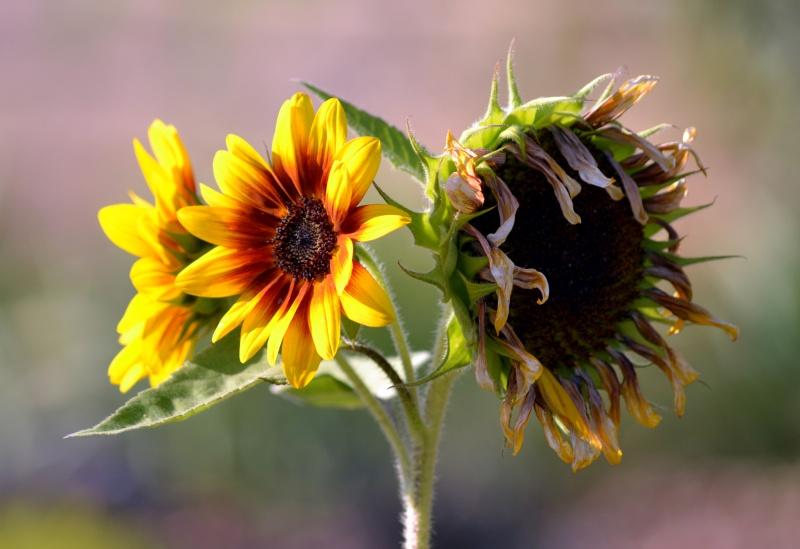 Sunflowers-evening-8_13