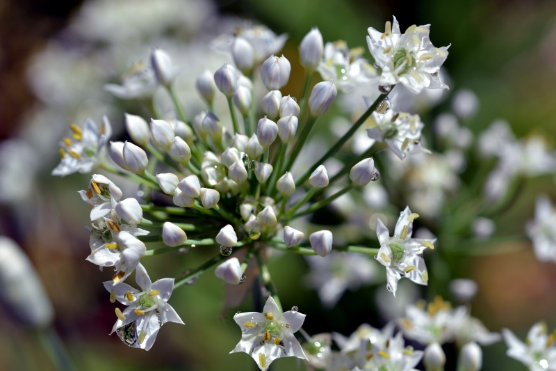 White-Garlic-Flower-8_13
