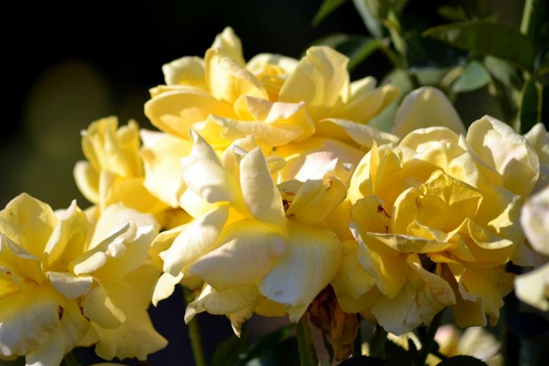 Yellow-Rose-Spent-8_13