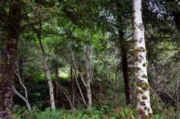 Alder-Trees