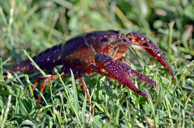 Crawfish-9_13