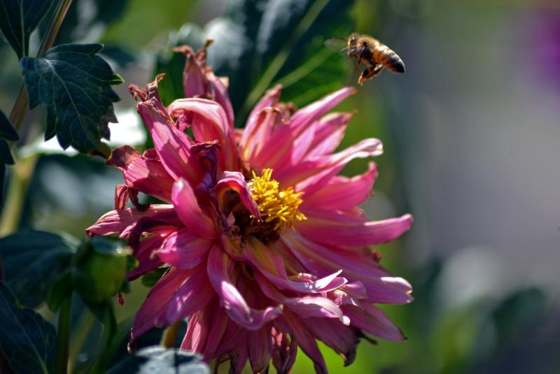 Dahlia-Pink-Bee2_9_13