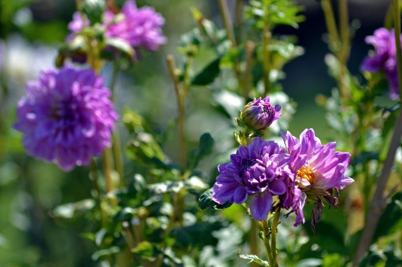 Dahlias-Purple_9_13
