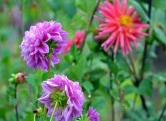 Dahlias-Wet-9_21_13