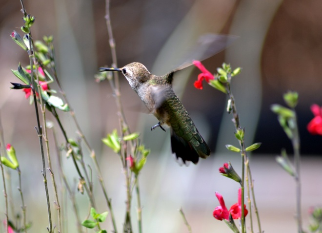 Hummingbird-9_13