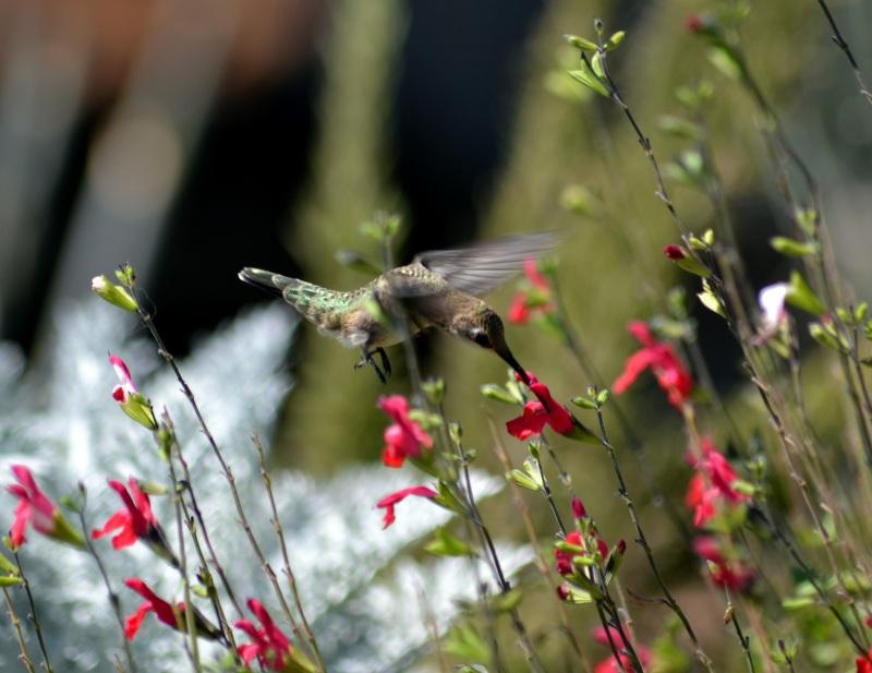 Hummingbird2-9_13
