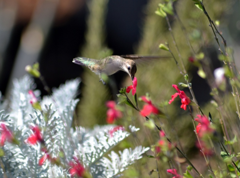Hummingbird3-9_13