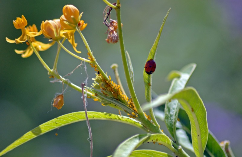 LadyBug-Aphids-9_13
