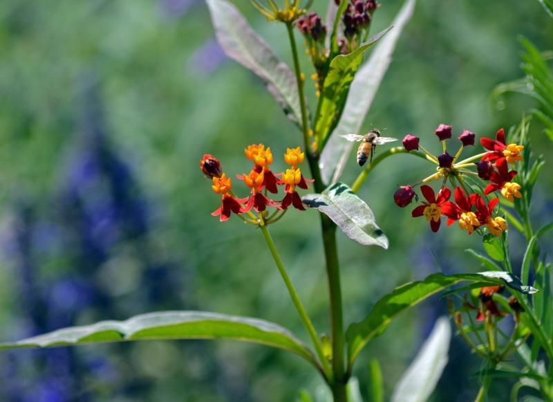 Milkweed-Bee-9_13_A
