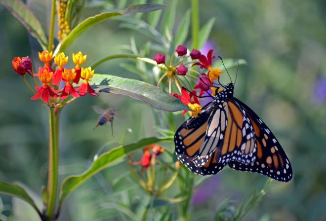 Monarch-Bee_9_13