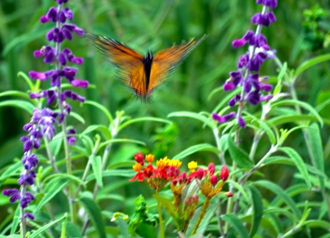 Monarch-Blurred-9_21_13