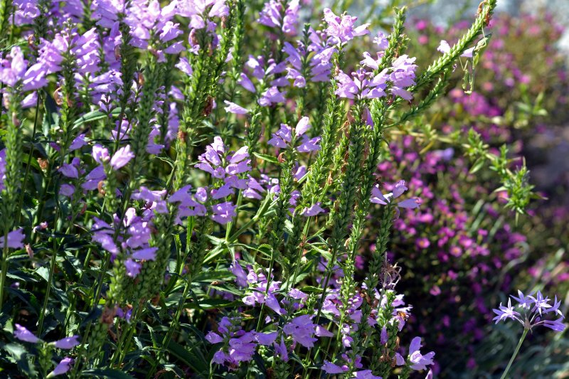 Obedient-Plant_9_13_A