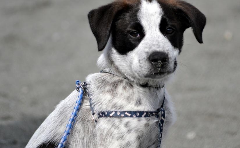 Dogs of KlamathII