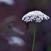 Queen-Anne's-Lace-2