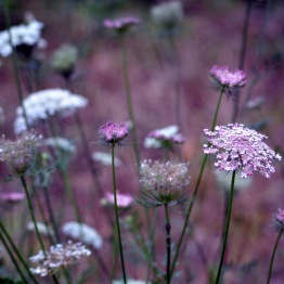 Queen-Anne's-Lace