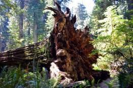 Redwood-Root