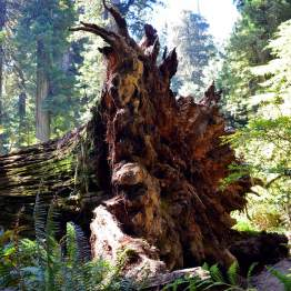 Redwood-Root