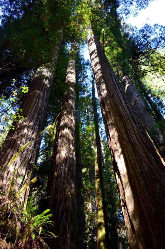 Redwoods_Klamath