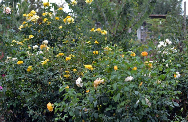 Roses-September-9_13