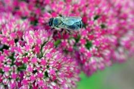 Sedum-Bee