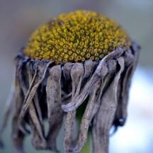 Shasta-daisy-dried