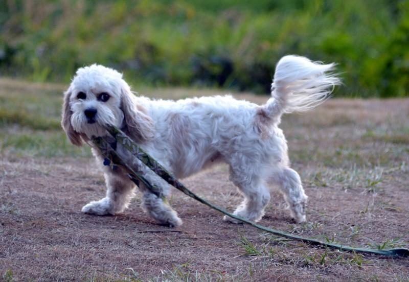 Walking-dog_Klamath