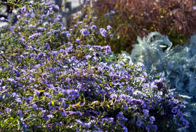 Asters-Fall-10_13