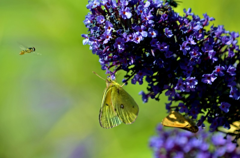 Butterflies-and-Bee-10_13