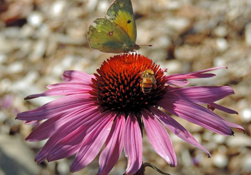 Butterfly-Bee-10_20_13