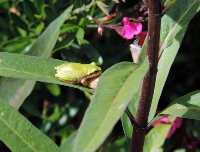 Froggy-Love