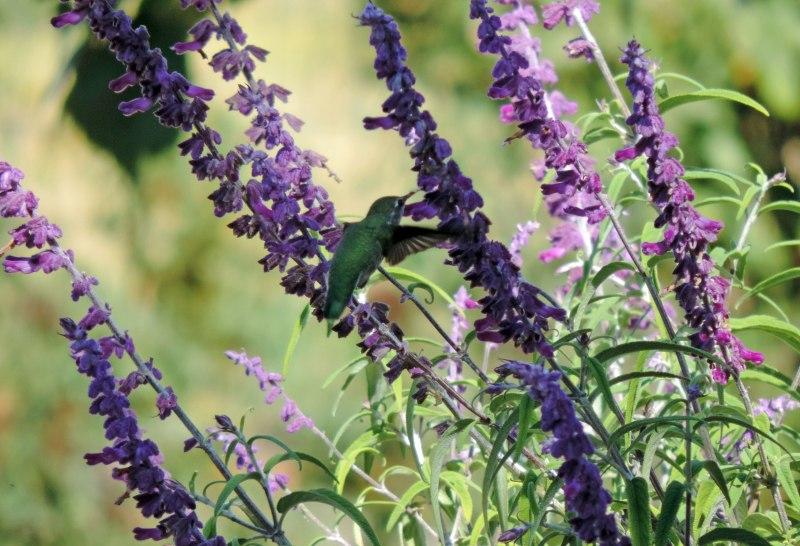 Humming-Bird-10_13