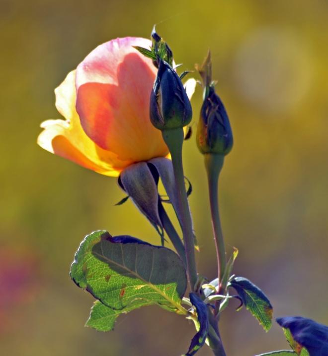 Rose-Bud-10_20_13
