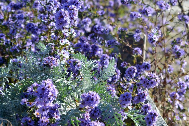 Asters-11_16_13