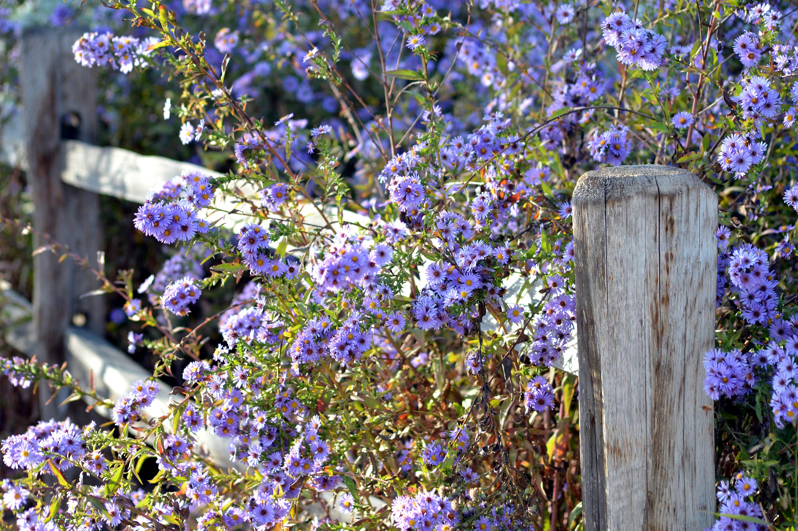 Asters-Fall-11_13