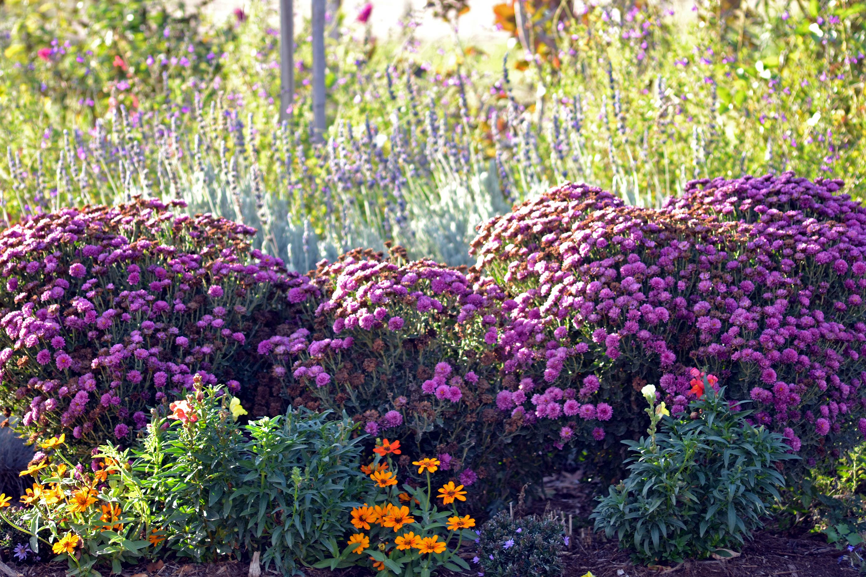 Chysanthemums-11_13