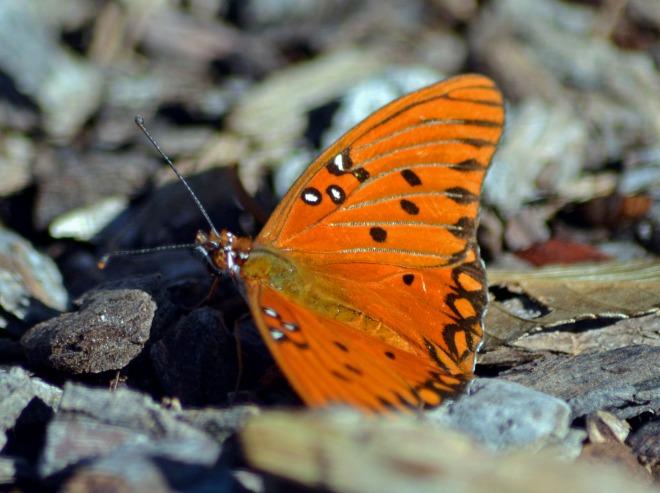 Gulf-Fritillary-Butterfly-11_16_13
