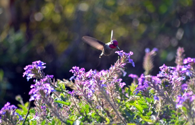 Hummingbird-Red-11_25_13