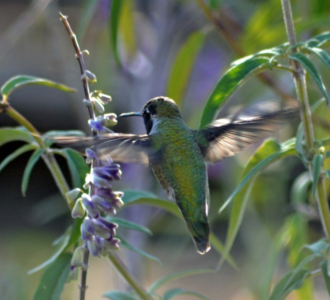 Hummingbird3-11_23_13