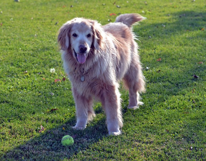 Old-Dog-Tennis-Ball-11_24_13