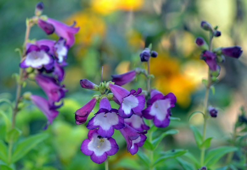 Penstemon-11-9_13