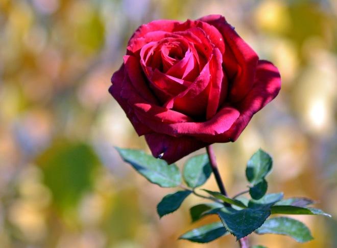 Rose-in-Fall-11_16_13
