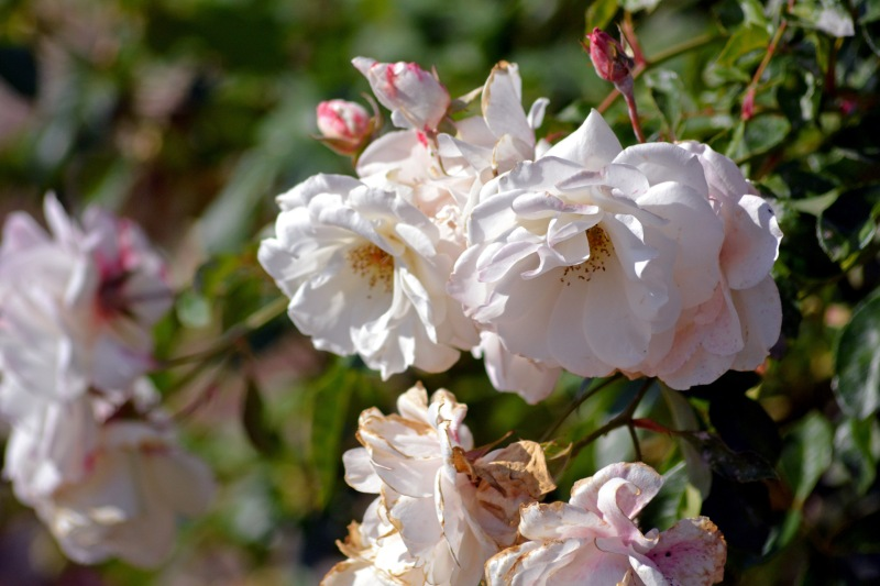 White-Roses-Pink-11_23_13