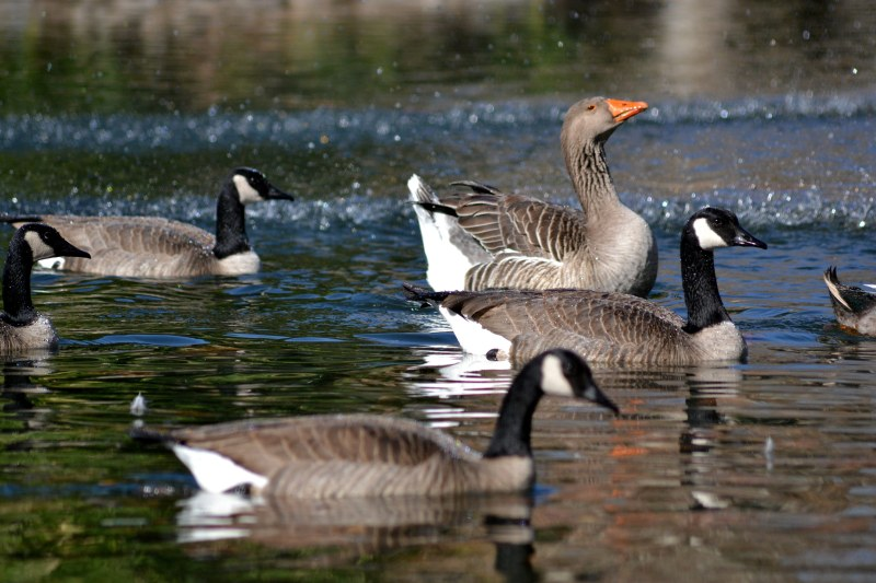 Geese-11_30_13