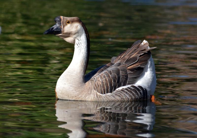 Goose-11_30_13