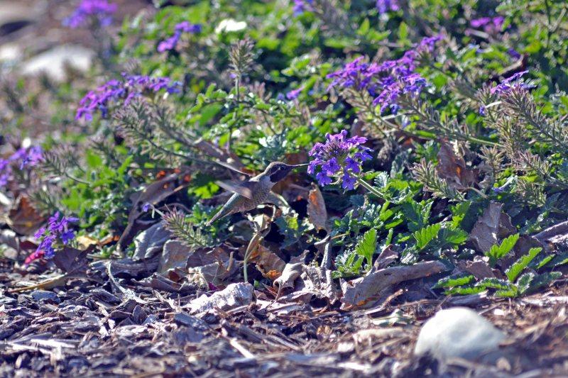 Hummingbird-Leaves-11_30_13