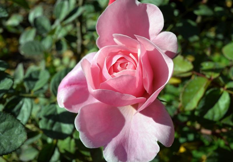 Pink-Rose-11_30_13