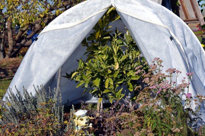 Tented-Orange-Tree-11-30_13