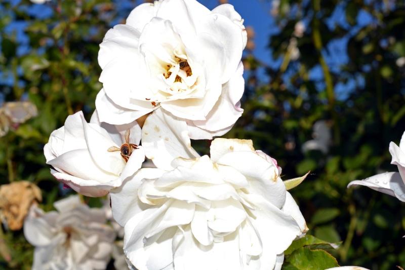 White-Roses-2-11_30_13