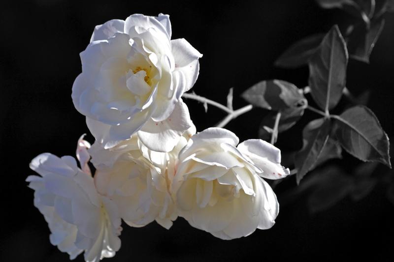 White-Roses_BW